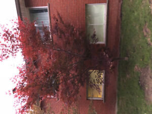 japanese maple tree for sale