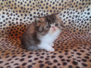 for sale exoticlonghair brown white tabby male