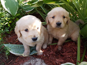 Beautiful golden retrievers for sale - à vendre