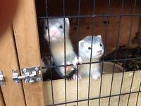 FERRET KITS FOR SALE HOBS ONLY
