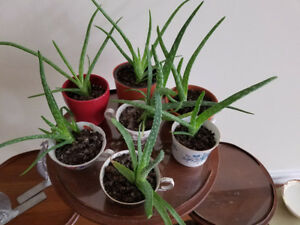 7 YOUNG ALOE PLANTS - VERY HEALTHY!