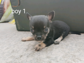 Chihuahua in Essex | Dogs & Puppies for Sale - Gumtree