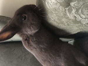 Beautiful Brown Male Rabbit Cambridge Kitchener Area image 4