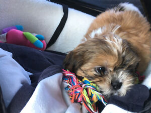 11 week old Shihtzu tri colour Selling because im moving