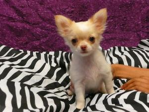 5 chiots Chihuahuas à vendre