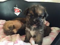 lhasa apso puppy's for sale 8 weeks old