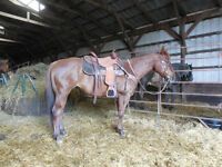 6 YEAR OLD-14.3 HAND CHESTNUT ROAN EXPERIENCED TRAIL HORSE