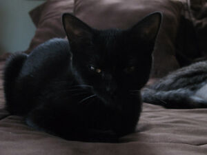 Beautiful Black Cat looking for new home.