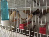Canary birds for sale 2016