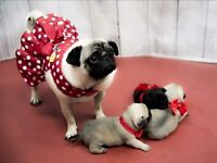 Three beautiful girl pugs