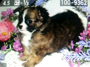 Sable Long Coat Chihuahua Boy Puppy $1000.