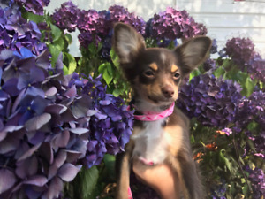 Puppy | Adopt Dogs & Puppies Locally in British Columbia | Kijiji