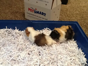 Great Pets For Kids! Guinea Pigs!