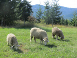 Two pregnant ewes for sale