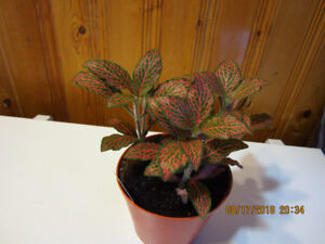 "Fittonia ""Juanita"" Plant - Red Vein (Air Purifying)"