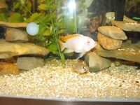 Adult Albino Ice Blue Red Top Cichlids