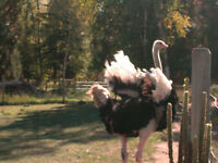 Ostrich Breeders For Sale With Contract to buy all Yearlings