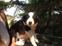 Registered Border Collie pups **READY TO GO**