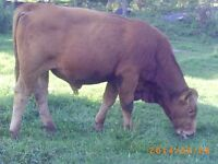 bull limousin for sale