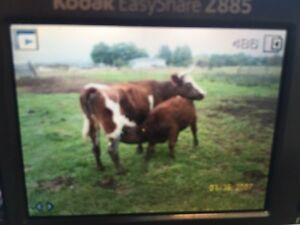 Two cows and two heifer calfs for sale