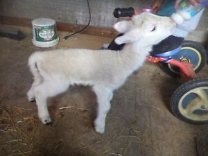 Baby ram lamb a few days old.  Has had colostrum and taking