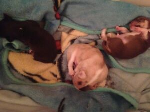 3 Gorgeous Male Chocolate/Merle Chihuahua Puppies