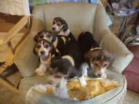 puppies for sle