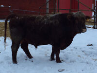 3 year old red angus bull