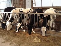 COWS AND HEIFERS FOR SALE!!