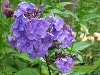 duftende Flammenblume Blue Paradise, hoher Phlox in lilablau, blauer gehts nicht