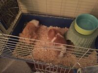 Two female Guinea Pigs and accessories for sale