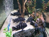 African cychlids -Frontosas