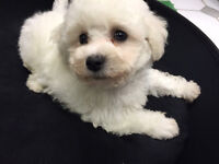 TOY SIZE BICHON FRISE PUPPIES READY FOR NEW HOME