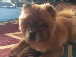 CHOW CHOW Puppies for SALE London Ontario image 2