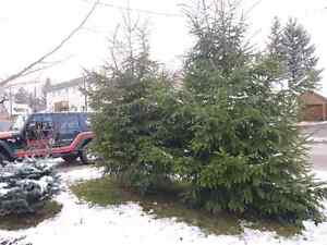 Beautiful 10-11 ft tall, live Christmas Tree