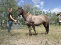 AQHA Silver Grulla Stallion, Little Steeldust Bred