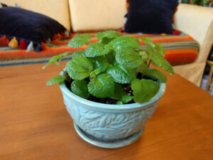 Adorable, air-purifying Plectranthus coleoides +free aloe