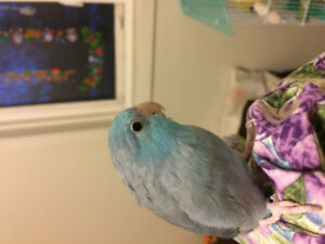 2 birds for rehoming