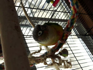 Yellow sided conure with cage and accessories