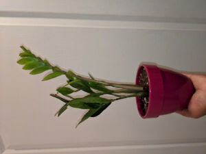 Air Purifying ZZ plant