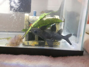 Male Asian Upside Down Catfish for Sale
