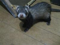 Male ferret + cage.