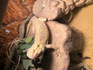 4y/o bearded dragon with large tank
