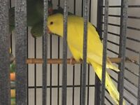 Pair of indian ring neck parrots. Green. Yellow. Blue Red Rosella