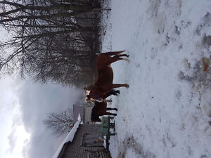 8 years old Quarter Horse gelding.  Trail horse