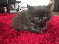 Long haired blacky/grey female kitten