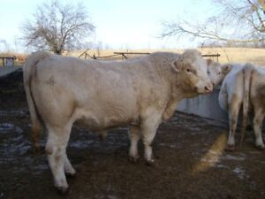 3 Year old A I Charolais Bull.