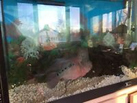 "Reduced!!  90 Gallon Tank and 12"" Flowerhorn fish"