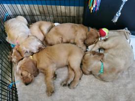 9 weeks Cocker Spaniel puppy