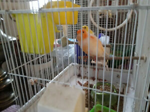 Canary Breeding pair with cage $100
